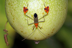 Leaf-footed bug Anisoscelis flavolineata Royalty Free Stock Photo