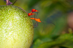 Leaf footed bug Anisoscelis flavolineata Stock Photography