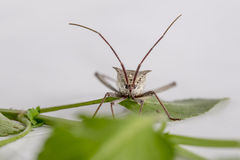 Leaf Footed Bug Royalty Free Stock Image