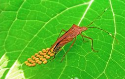Leaf Footed Bug laying eggs on green leaf stock photography