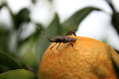 Leaf Footed Bug Standing on an Orange Royalty Free Stock Photos