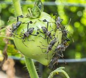 Leaf-footed Bugs Feeding on Tomato in the Garden Stock Photography