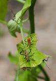 Leaf Footed Stink Bug Nymphs On Tomatoe Plant Leaf Royalty Free Stock Image