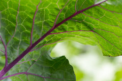 Leaf form a kohlrabi Stock Images