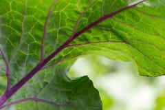 Leaf form a kohlrabi Stock Images
