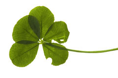 leaf för växt av släkten Trifolium fem Royaltyfria Bilder