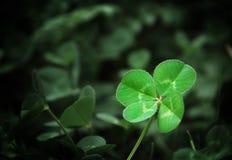 leaf för växt av släkten Trifolium fyra Arkivfoton