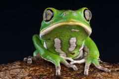 Leaf frog Royalty Free Stock Photography