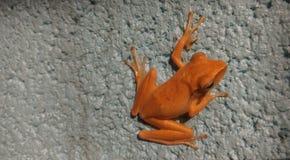 Leaf frog has orange Stock Images