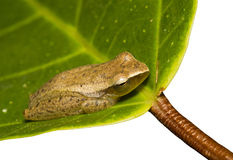 Leaf frog Stock Photo