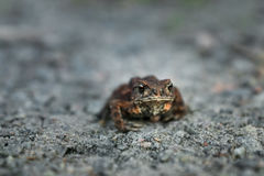 Leaf frog in the sand Royalty Free Stock Photography