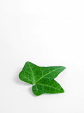Leaf From Ivy Stock Photo