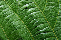 Leaf front texture closeup Stock Images