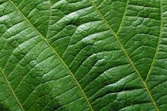 Leaf front texture closeup Stock Images