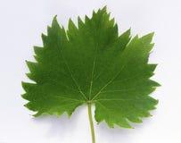 Leaf_frontside de la vid Fotografía de archivo libre de regalías