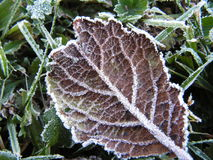 Leaf with frost. Purple leaf with frost crystals royalty free stock images