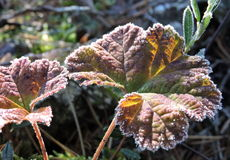 Leaf in frost Stock Photography