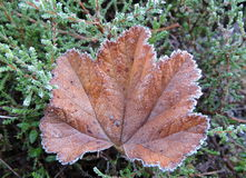 Leaf in frost Royalty Free Stock Image