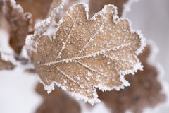 Leaf with frost and ice Stock Images
