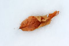 Leaf frozen in the snow Stock Photos