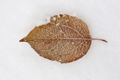 Leaf frozen on snow Stock Photo