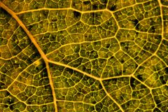 Leaf of a fruit plant in autumn close up. Natural abstract background or wallpaper. Yellow, green and brown colors. Macro