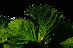 Leaf of garden strawberry Fragaria ananassa on dark background. Shot during spring season in garden during early morning hours Stock Images
