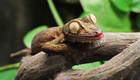 Leaf Gecko. A Leaf Gecko, perched on a branch Royalty Free Stock Images