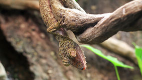 Leaf Gecko Royalty Free Stock Photography