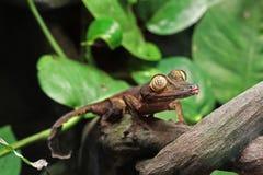 Leaf Gecko Stock Image