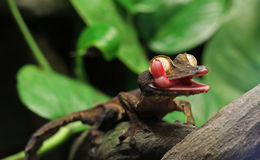 Leaf Gecko. A Leaf Gecko, perched on a branch, licking it's eyeball Royalty Free Stock Images