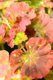 Leaf Geranium. Close up of a a leaf of a variegated leaf geranium growing in a clay pot on a home patio royalty free stock image
