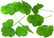 Leaf of geranium, fresh delicate leaves, isolated on scrapbook b. Ackground Royalty Free Stock Images