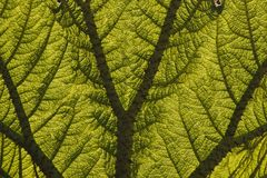 Leaf of a Giant Rhubarb (Gunnera manicata) Royalty Free Stock Photo
