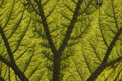 Leaf of a Giant Rhubarb (Gunnera manicata) Royalty Free Stock Photo