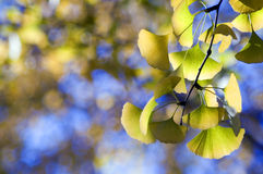 The leaf of gingkgo. With sky Royalty Free Stock Image
