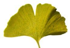 Leaf Ginkgo Biloba Stock Photos