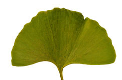 Leaf Ginkgo Biloba Stock Photos