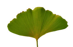Leaf Ginkgo Biloba Royalty Free Stock Image