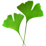 Leaf ginkgo bilobaz Royalty Free Stock Images