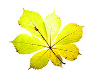 Leaf on a gleam, capillaries of a leaf are visible Royalty Free Stock Photography