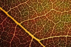 Leaf of golden apple Stock Photo