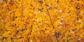 Leaf golden Stock Photography