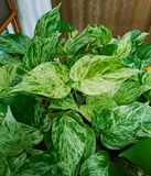 The leaf of  Golden pothos. Planted in a potted plant Stock Images