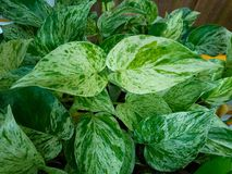 The leaf of  Golden pothos. Planted in a potted plant Royalty Free Stock Images