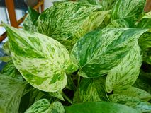 The leaf of  Golden pothos. Planted in a potted plant Stock Photos