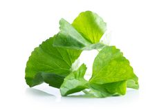 Leaf of gotu kola asiatic pennywort on white. Background Stock Images