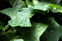 Leaf gourd and water drops. Stock Images