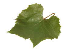 Leaf of grape. On white background close-up Stock Photos