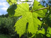 Leaf of grape glowing in sunlight Royalty Free Stock Photos